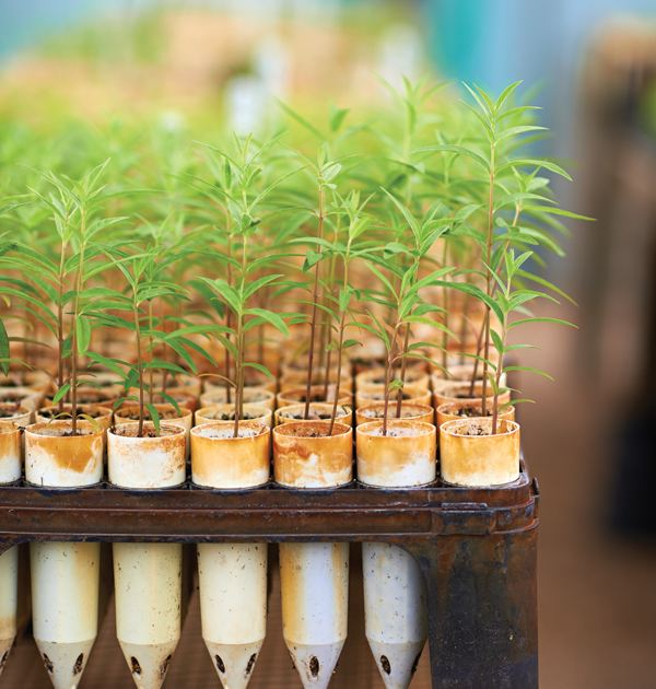 Mature seedlings spend time in tall tubes so they can develop healthy root systems.