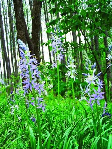 Wild hyacinth in Indiana's Charles C. Deam Wilderness