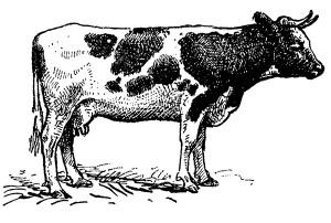 CM_AUG15_FEATURE_Cow
