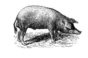 CM_AUG15_FEATURE_Pig