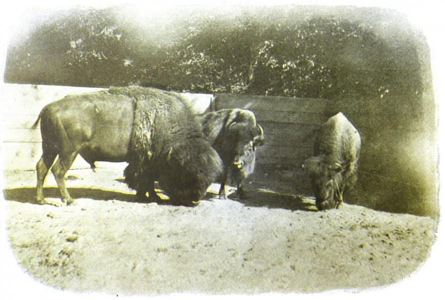 """Photo of Bison at the Cincinnati Zoo Studies In Zoology: A Book Devoted To Animals And Animal Life At The Cincinnati Zoological Garden, Published 1900 by the Cincinnati Zoological Company. These bison from a 1900 Cincinnati Zoo guide are more animated than the """"Great Buffalo Hunt"""" bison from 1851."""