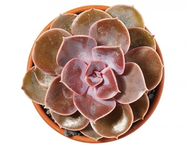 Succulents offer a lot of variety (more than 100 species) in a small package, and they thrive with minimal watering—perfect for beginner gardeners. Potted echeveria succulent, $5.99 each, A.J. Rahn Greenhouses, ajrahngreen houses.com Potted echeveria from A.J. Rahn Greenhouses