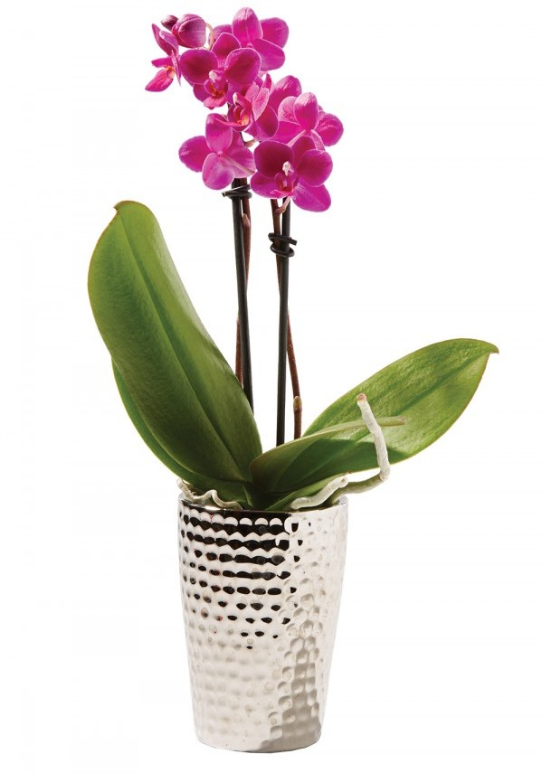 Even those lacking green thumbs can successfully raise Phalaenopsis orchids, which grow indoors, produce longer-lasting blooms, and are generally low-maintenance all around. Potted orchid, $49.99, H.J. Benken Florist & Greenhouse, benkens.com