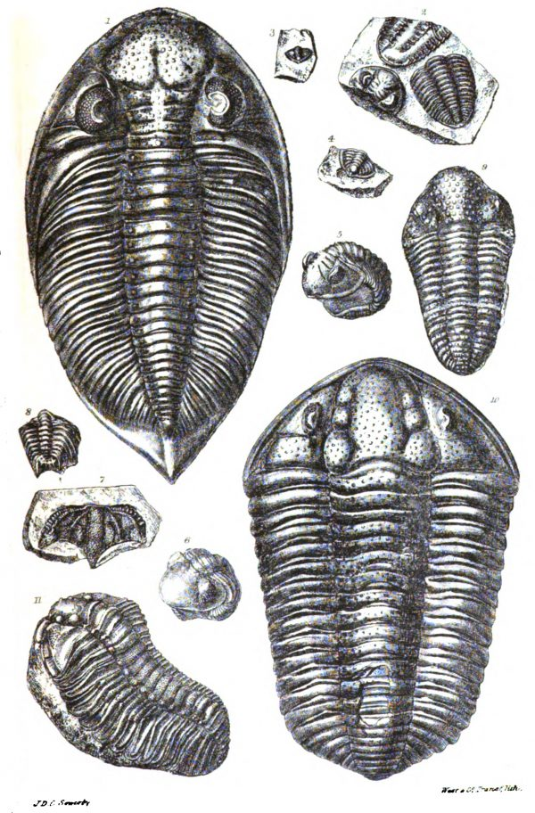 This antique plate from Sir Roderick Impey Murchison's widely popular book, Siluria, illustrates the sort of trilobites found preserved in the rocks near Hamilton. There has not been a living trilobite for hundreds of millions of years.