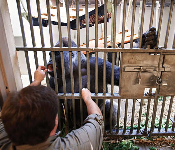 Saving Zoo Gorillas One Echocardiogram At A Time