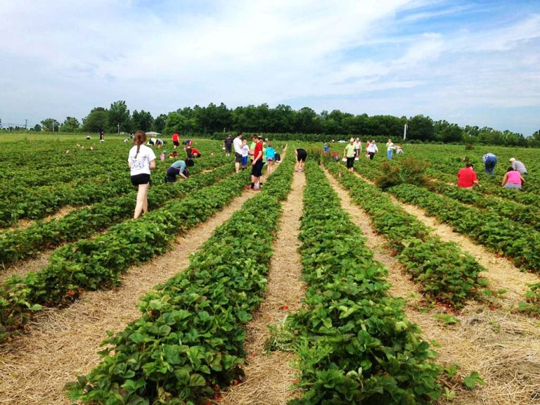 Top 5 U-Pick Farms For Strawberry Picking