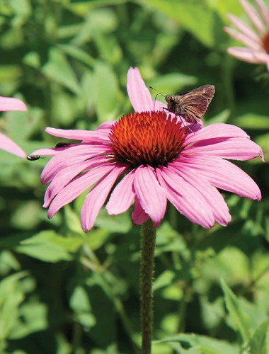 A purple coneflower at Glen Helen Nature Preserve in Yellow Springs