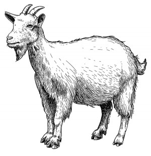 CM_AUG15_FEATURE_Goat