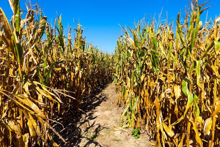 Get Lost: Three Ohio Corn Mazes