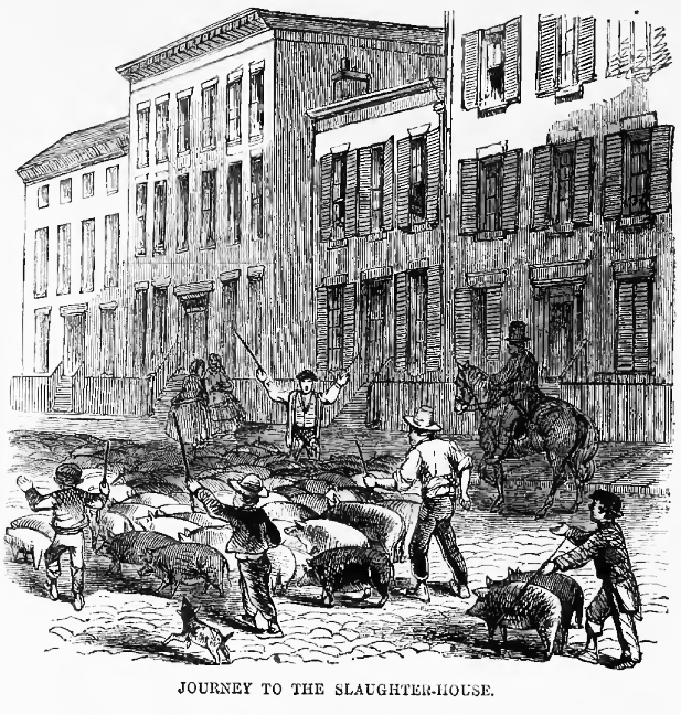 Driving hogs to slaughter along Cincinnati's residential streets, as illustrated by Harper's Weekly in 1860.